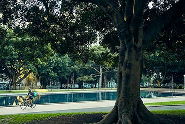 A cyclist on a path travelling through Sydney's Hyde Park with a fig tree in the foreground.